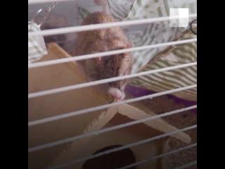 Крысы: посмотрите, какие они милые!