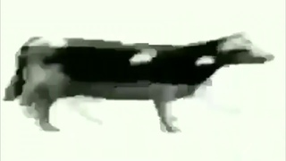 cow vibing to polish song tylko jedno w głowie mam for 1 hour